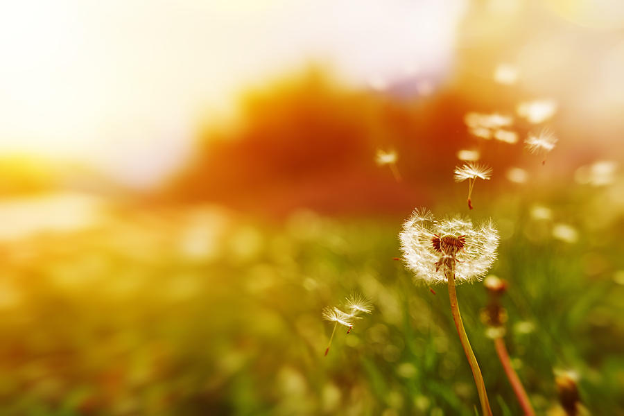 Windy Dandelion In Spring Time Photograph by Stock_colors