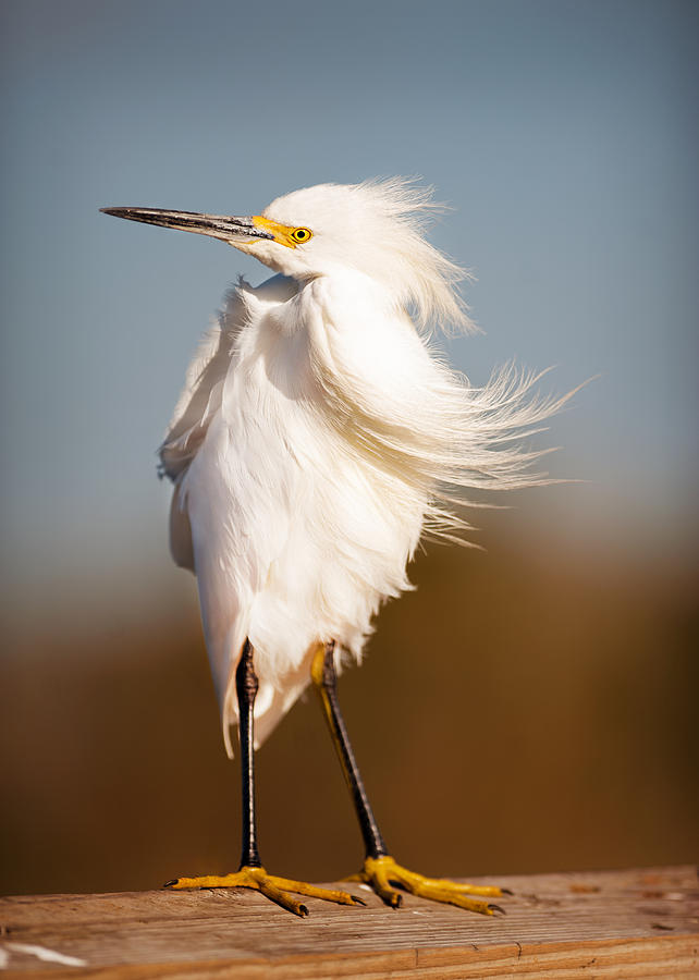Windy Egret Photograph by Tammy Smith