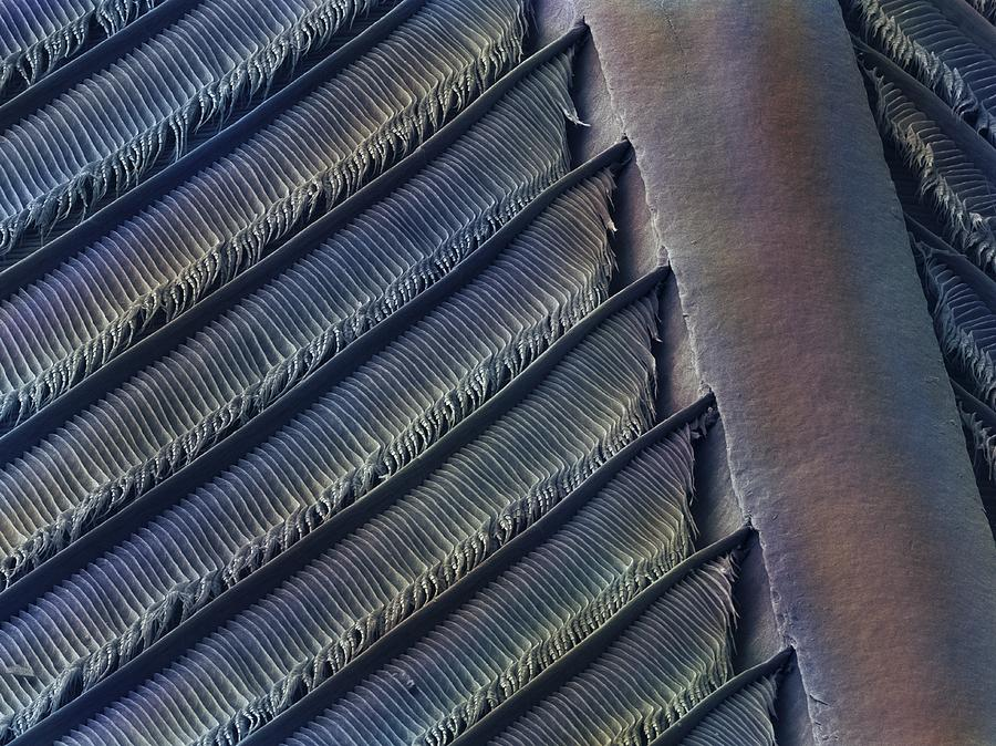 Bird Photograph - Wing Feather Detail Of Swallow Sem by Science Photo Library
