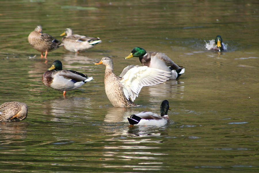 Duck Photograph - Wing Flapping by Lisa Vaccaro