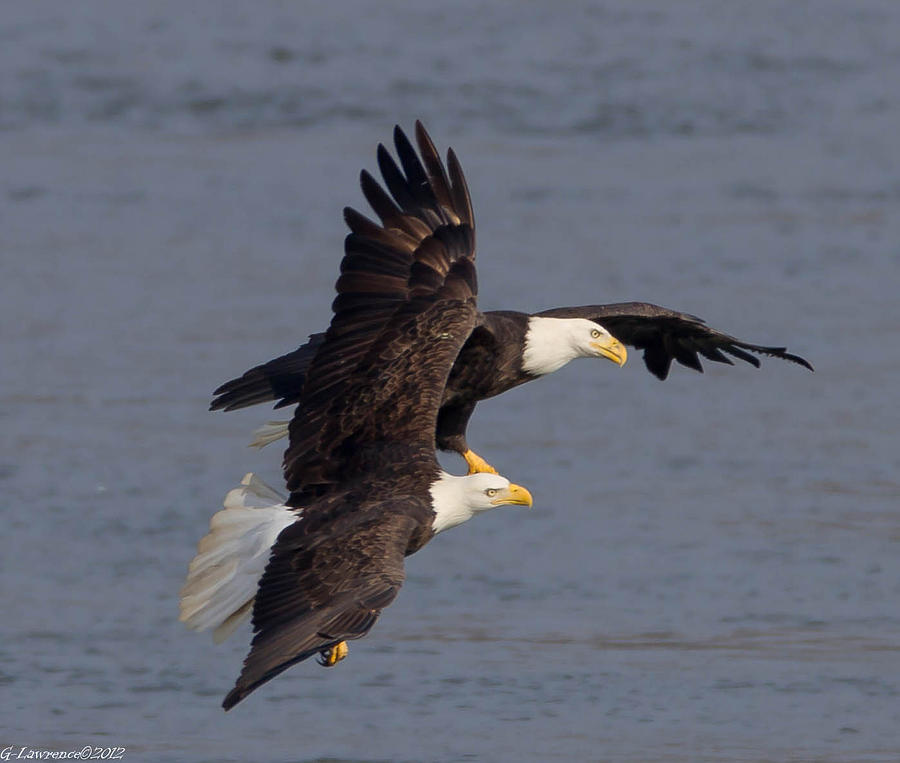 American Bald Eagles  Photograph - Wing Space  by Glenn Lawrence