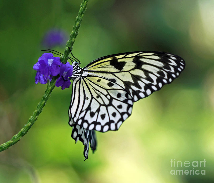 winged gem rice paper butterfly photograph by inspired