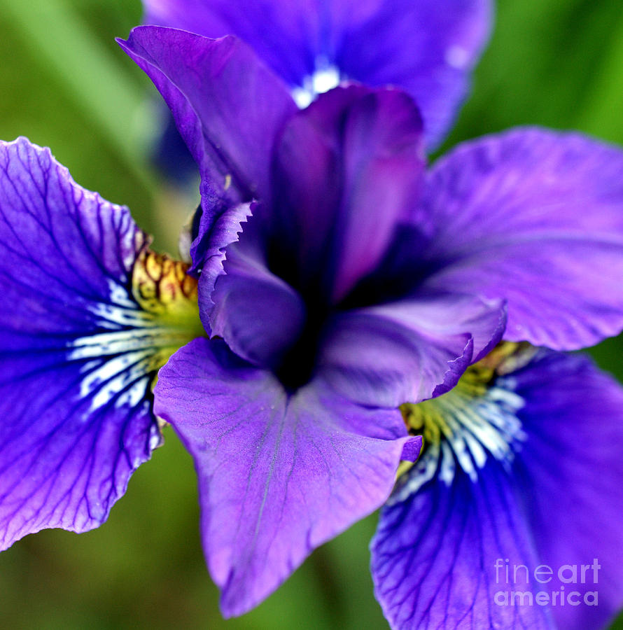 Iris Photograph - Wings I by Valerie Fuqua