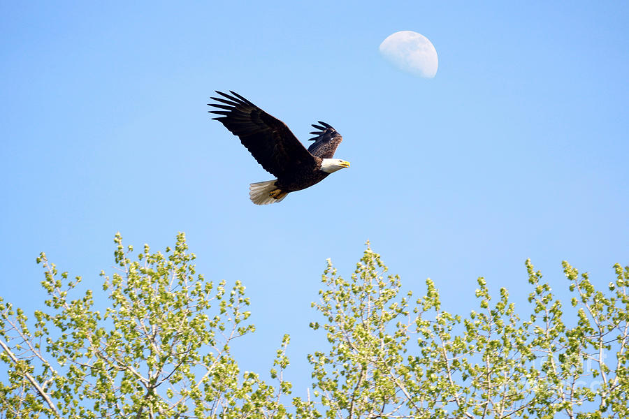 Eagle Photograph - Wings Of The Moon by Lori Tordsen