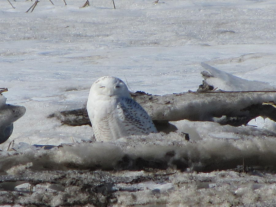 Snowy Owl Photograph - Winking Beauty by Deborah Flusberg