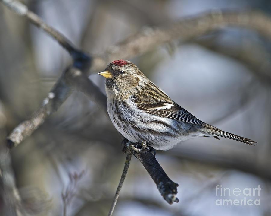 Nikon Photograph - Winter Beauty.. by Nina Stavlund