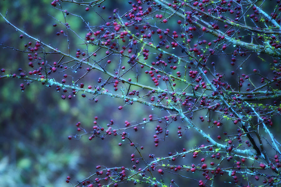 Berries Photograph - Winter Berries by Heather L Wright