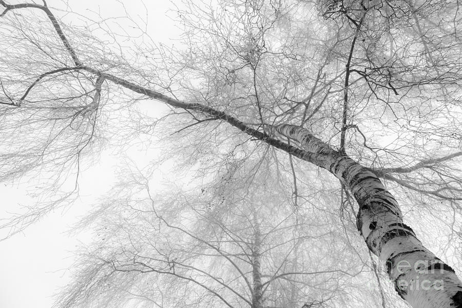 Birch Photograph - Winter Birch - Bw by Hannes Cmarits