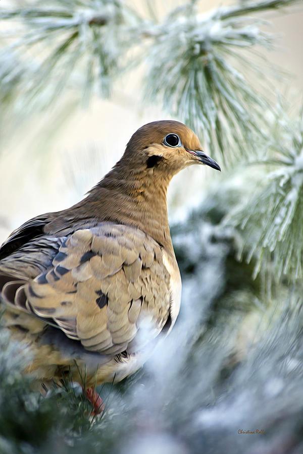 Dove Mixed Media - Winter Bird Mourning Dove by Christina Rollo