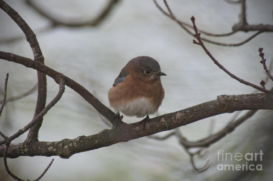 Winter Blue Bird 1 Photograph