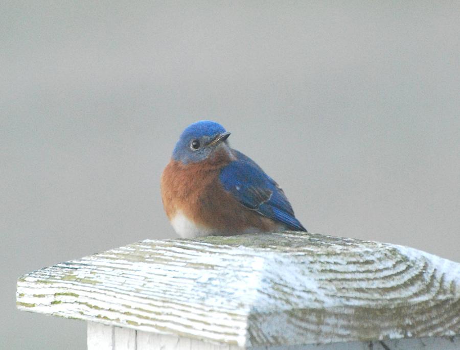 Bluebird Photograph - Winter Bluebird by Amy Porter