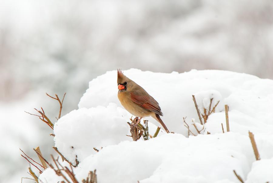 Cardinal Photograph - Winter Break by Paul Johnson