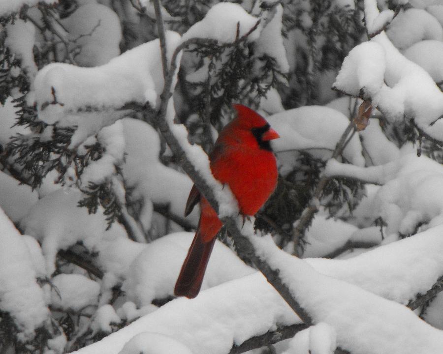 Winter Photograph - Winter Cardinal by David and Lynn Keller