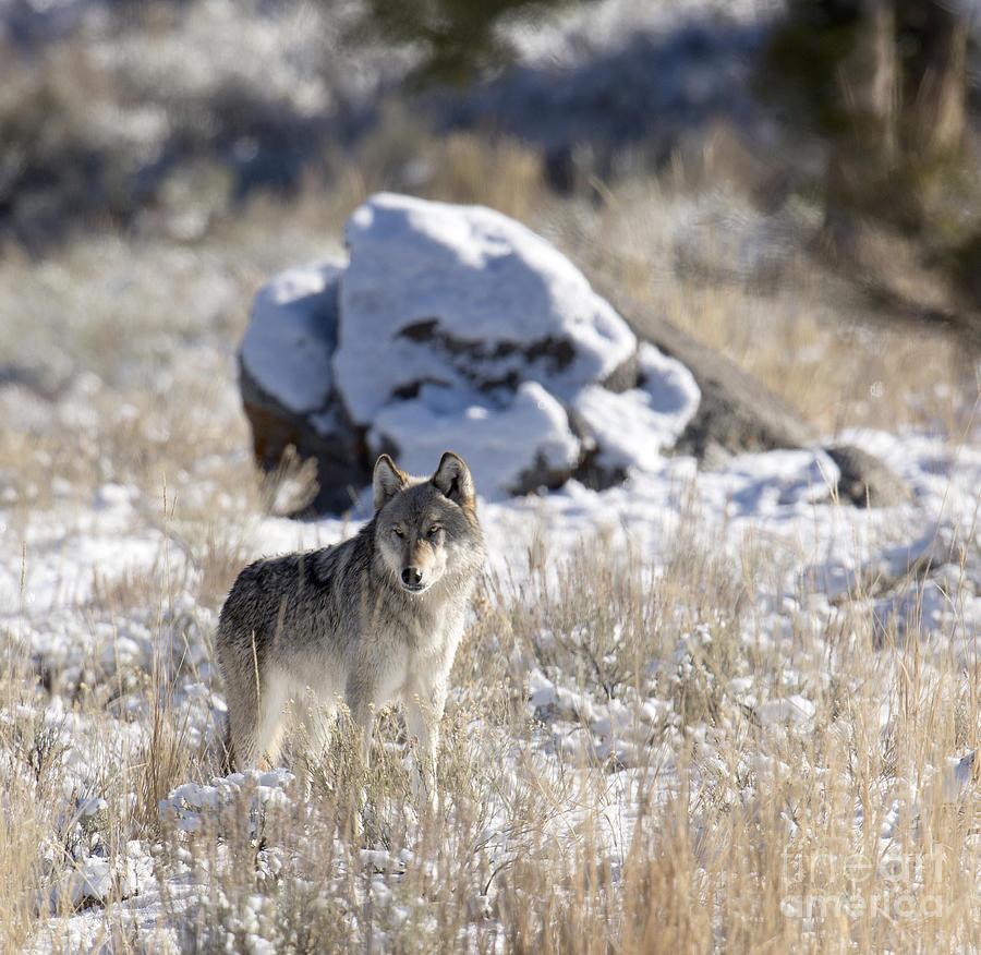 Gray Wolf Photograph - Winter Dreams by Deby Dixon