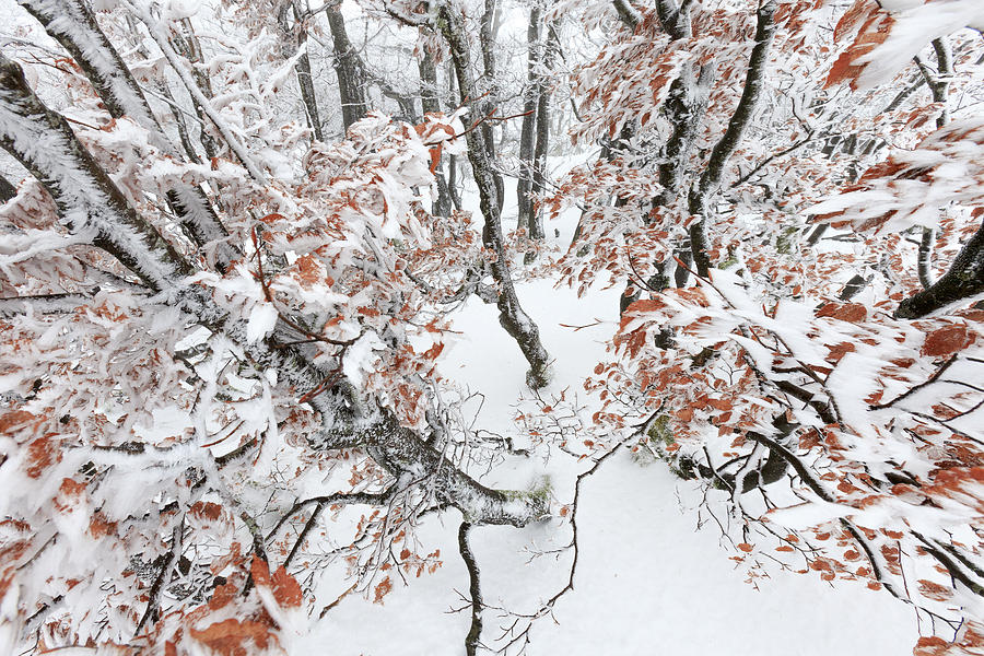Winter European Beech Forest In Vosges Photograph by Heike Odermatt