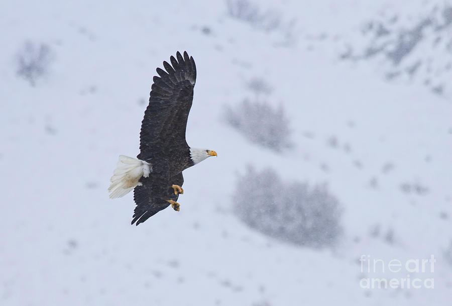 American Bald Eagle Photograph - Winter Flight by Mike  Dawson
