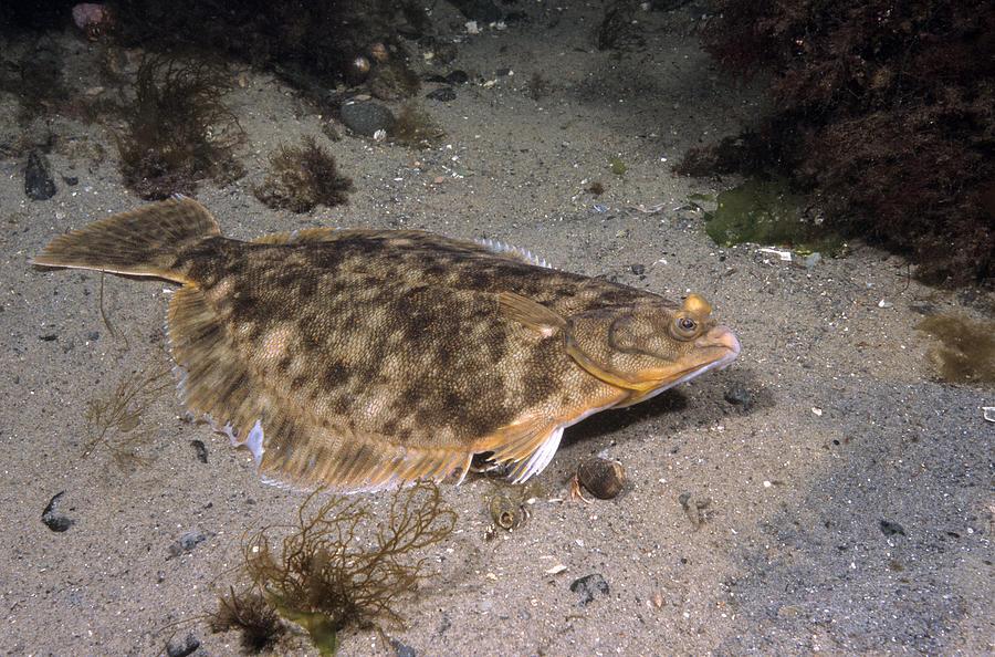 Winter Flounder Photograph - Winter Flounder by Andrew J. Martinez