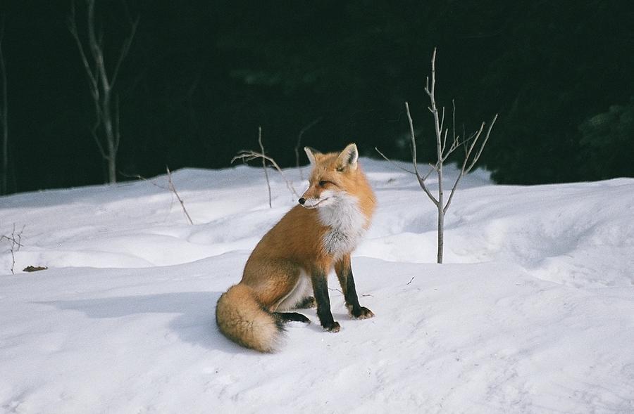 Wildlife Photograph - Winter Fox by David Porteus