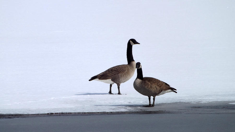 Nature Photograph - Winter Geese by Michael Sokalski