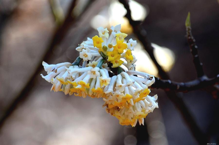 Edgeworthia Chrysantha Photograph - Winter Gold by Maria Urso