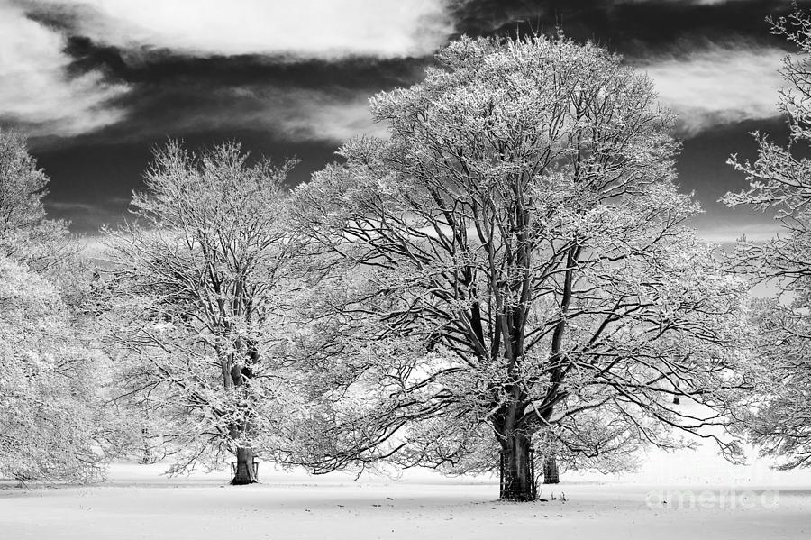 Horse Chestnut Photograph - Winter Horse Chestnut Trees Monochrome by Tim Gainey