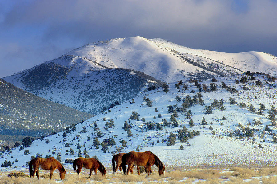Wild Horses Mustangs Photograph - Winter In The High Desert  by Jeanne  Bencich-Nations