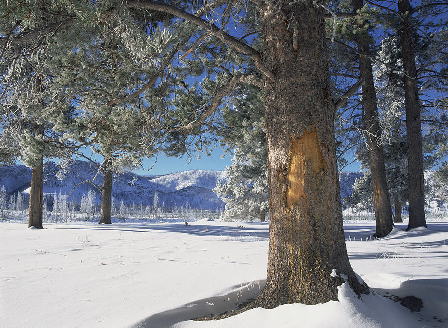Close Up Photograph - Winter In Yellowstone National Park by Tim Fitzharris