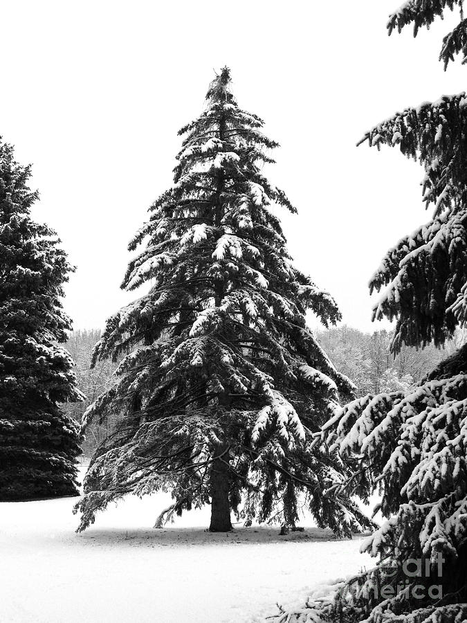 Winter Photograph - Winter Pines by Ann Horn