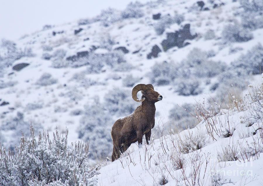 Bighorn Photograph - Winter Ram by Mike  Dawson