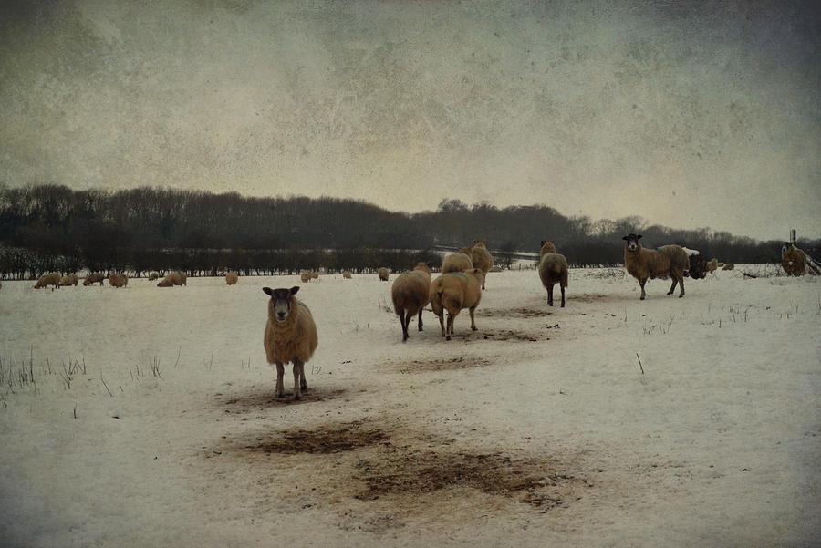 Sheep Photograph - Winter Sheep by Sarah Couzens