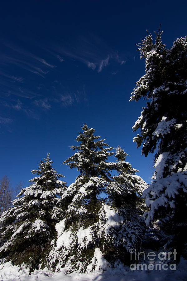 Trees Photograph - Winter Spruce by Steven Valkenberg