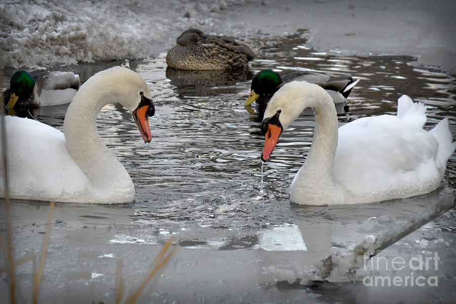 Winter Swans  by Gary Keesler