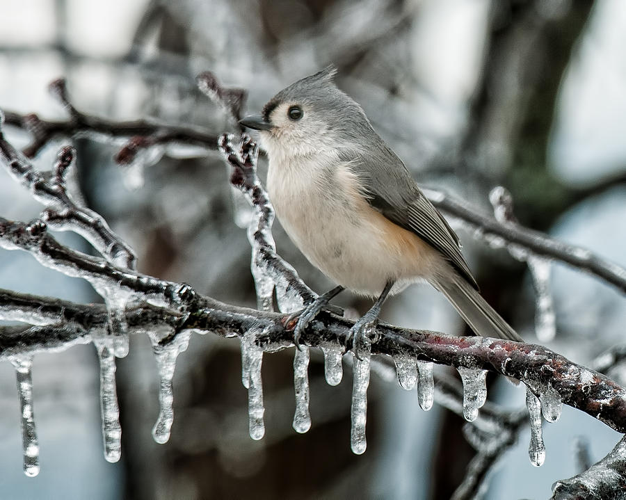 Tufted Titmouse Photograph - Winter Titmouse by Lara Ellis