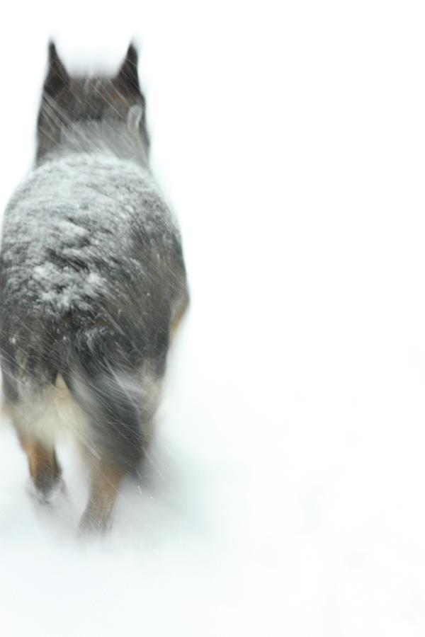 Dog Photograph - Winter Traveler by Karol Livote