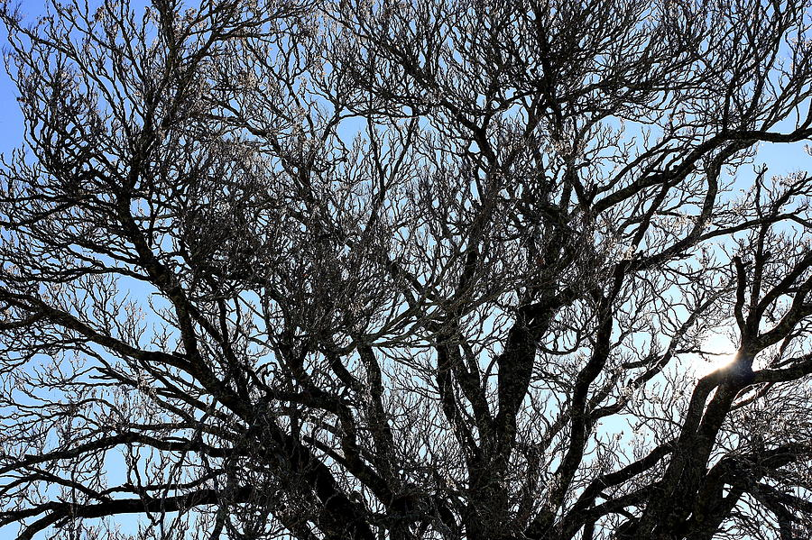 Winter Photograph - Winter Tree Hill End Nsw by Ian  Ramsay