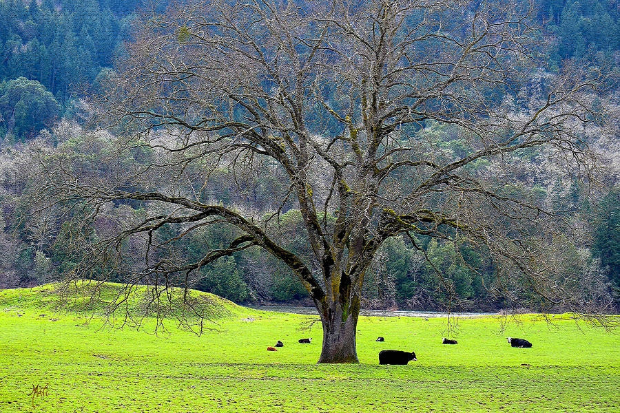 Winter Tree With Cows By The Umpqua River Photograph
