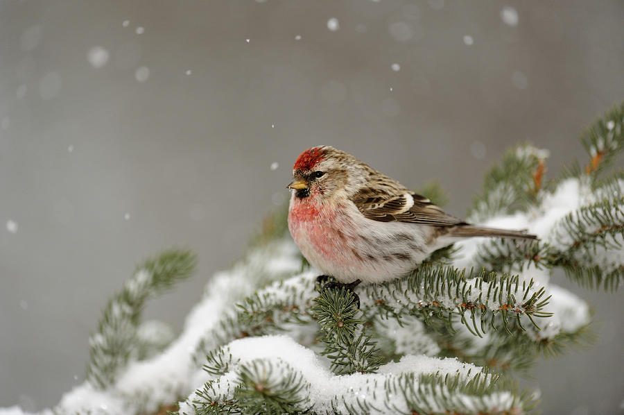 Winter visitor by Don Johnston