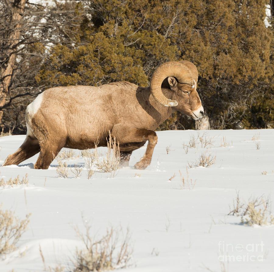 Big Horn Sheep Photograph - Winter Walk by Birches Photography