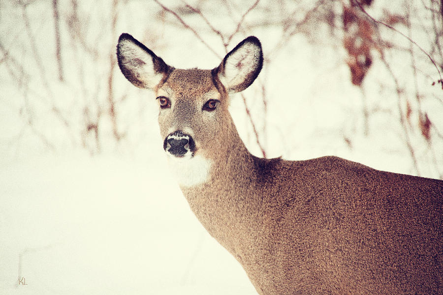 Deer Photograph - Winter White Tail by Karol Livote