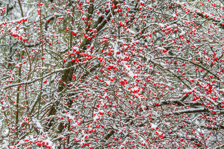 Winterberry During a Snowfall by Steven Schwartzman