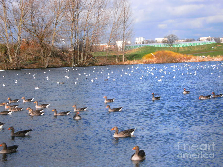 Lake Photograph - Wintering Birds - Mayesbrook Park by Mudiama Kammoh