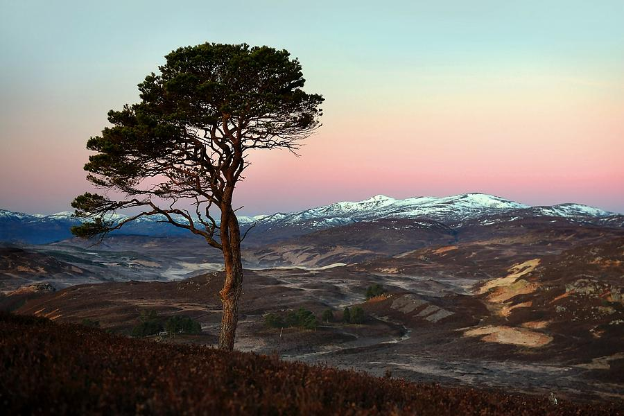 Scots Pine Tree Photograph - Winters Dawn by Macrae Images