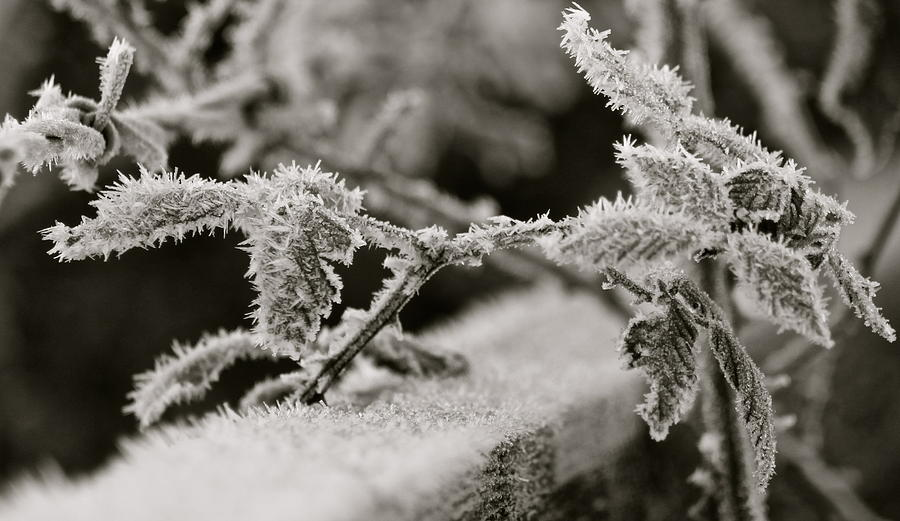 Rose Bush Photograph - Winters Frost by Karen Grist
