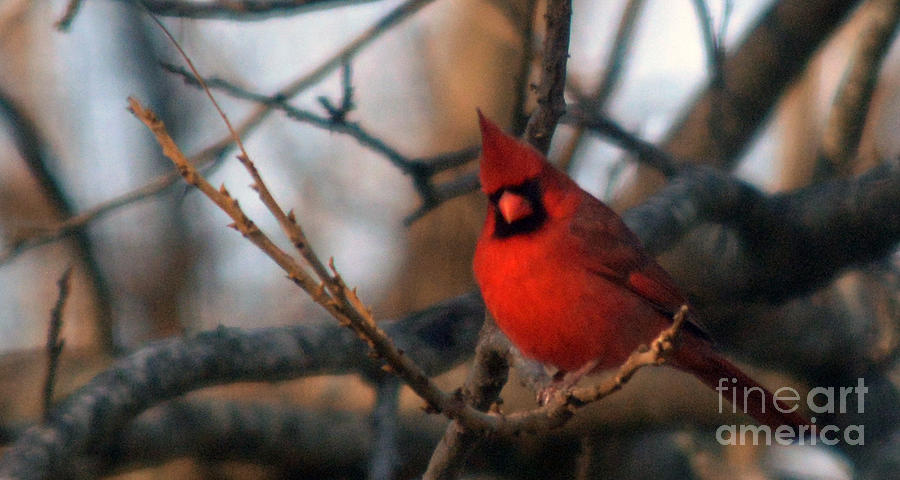 Northern Cardinal Red Beauty Photograph