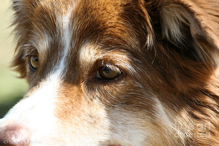 Pet Photograph - Wise Old Collie Eyes by Susan Herber
