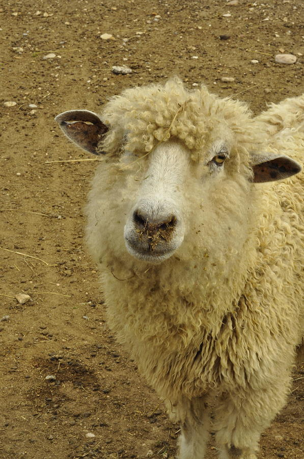 Sheep Photograph - Wish I Could See A Lassie... by Cherie Haines