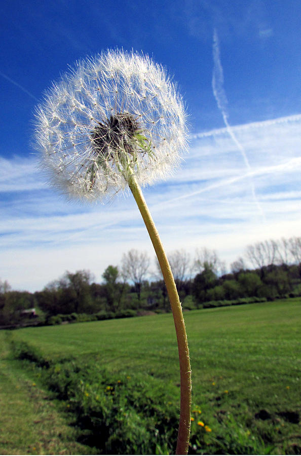 Dandelion Photograph - Wishes Or Weeds by Andrea Dale
