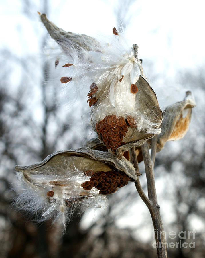 Asclepias Syriaca Photograph - Wisps In The Wind by Valerie Fuqua