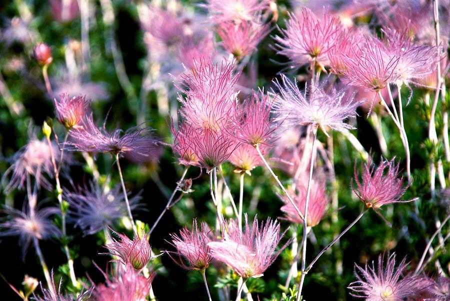 Wispy Pink Photograph