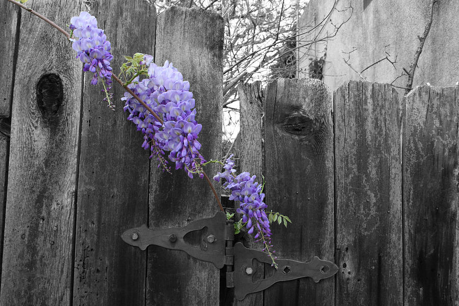 Landscape Photograph - Wisteria by Dylan Punke